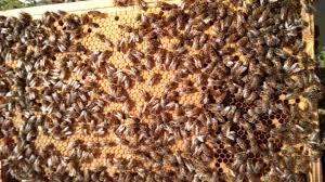 Rezultat iskanja slik za a lot of bees on the brod comb fotos
