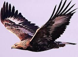Zlati orel - ptica visokogorja - naravo 2021