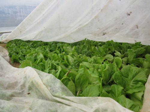 Bogat pridelek zimske solate pod kopreno v rastlinjaku zgodaj spomladi.