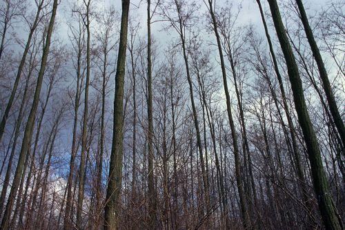 Kultivar akacije z ravnimi debli