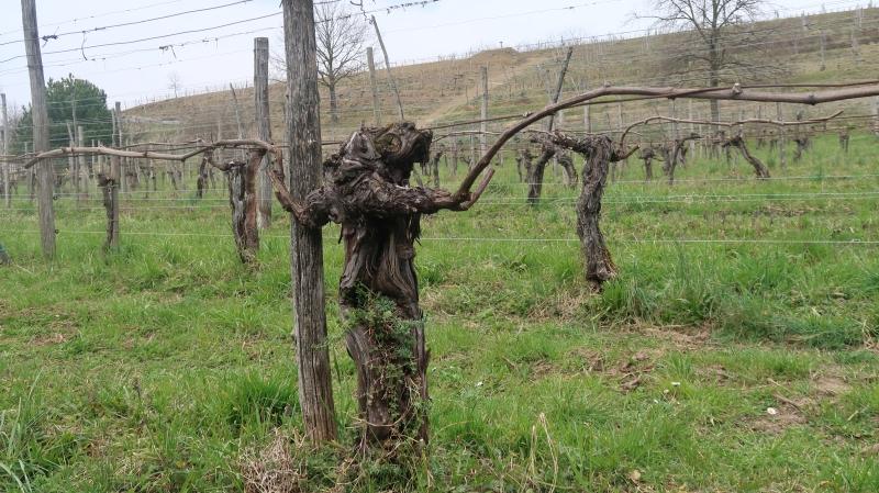 vinograd  z 200 trtami  sauvignonassa (furlanski tokaj)   iz 1947 je še vedno roden