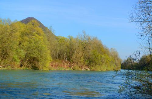 Cvetoča drevesa bele vrbe ob Savi pod Grmado