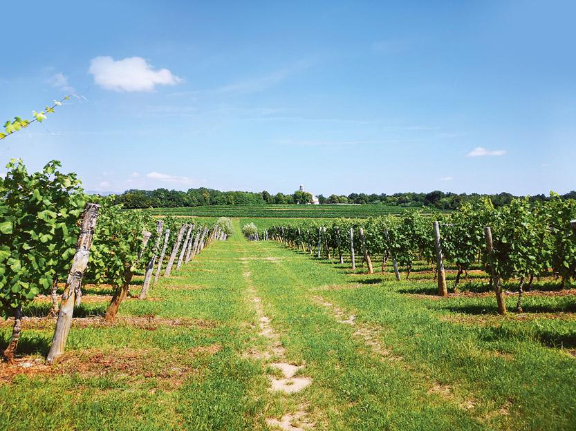 Iz vinograda marije Device na  Komnu bodo prestižna vina LaMarie