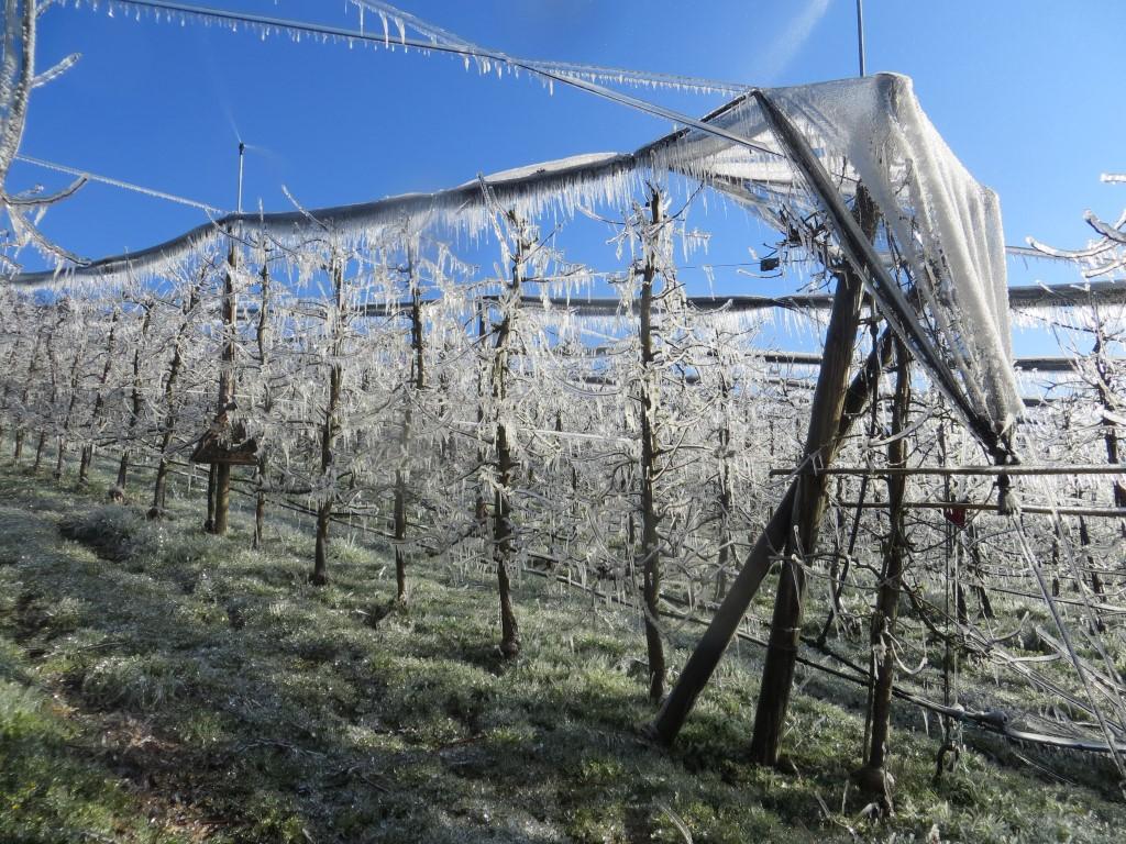 Kljub nizkim temperaturam je bil pridelek normalen, na ekološki kmetiji Pšaker niso imeli izpada, ki bi ga povzročila pozeba.