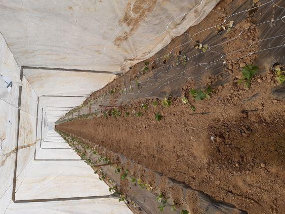 Kumare v tunelu v rastlinjaku (Fotografija: Natalija Pelko)