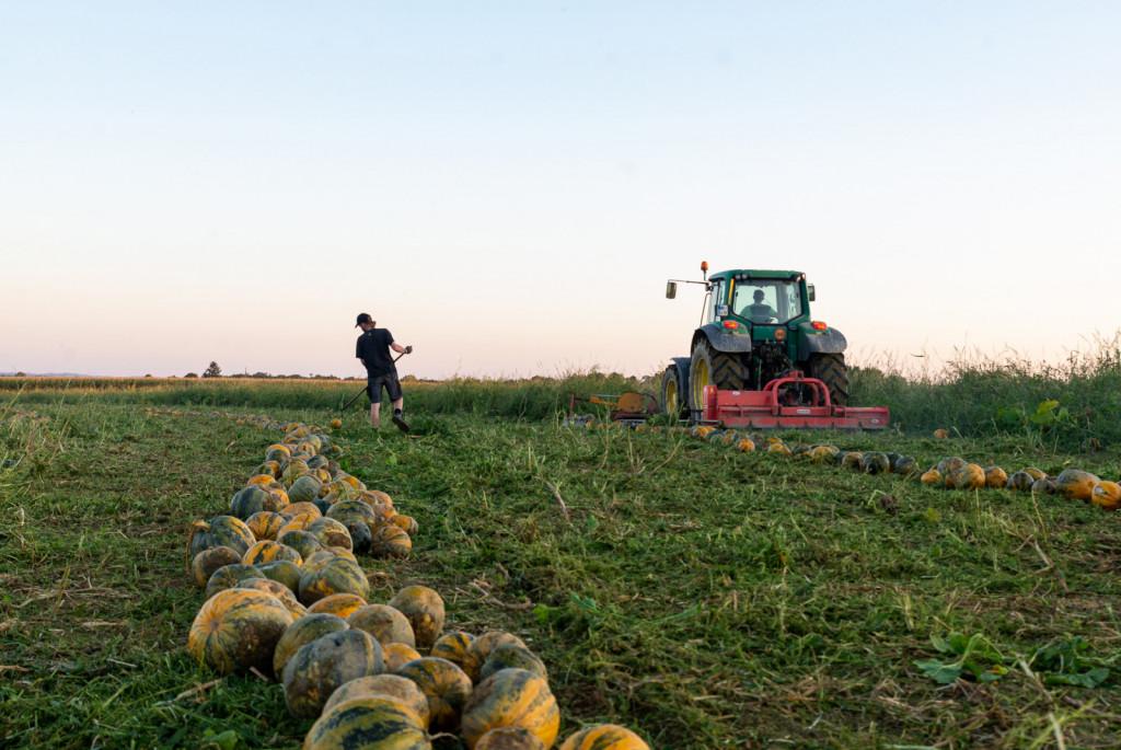 Bučam za olje so v okviru dopolnilne dejavnosti lani namenili 16 hektarjev, letos že 18.