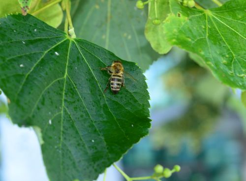 Čebela nabira mano na listu lipe.