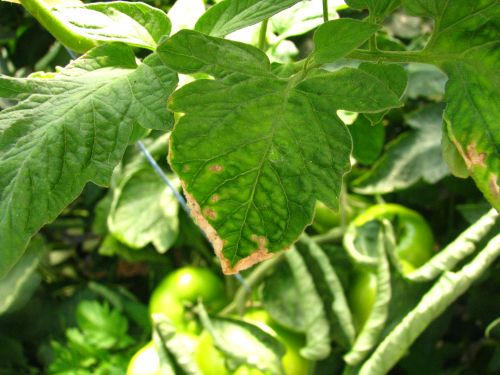 Sušenje listnih robov in drobne pege na listih