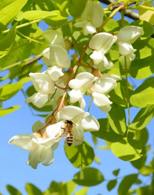 Čebela srka nektar iz cveta navadne akacije.