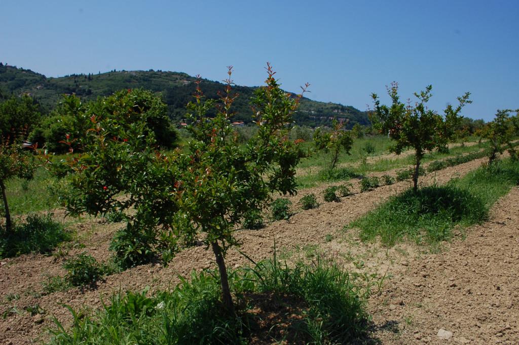 Mladi nasad granatnih jabolk