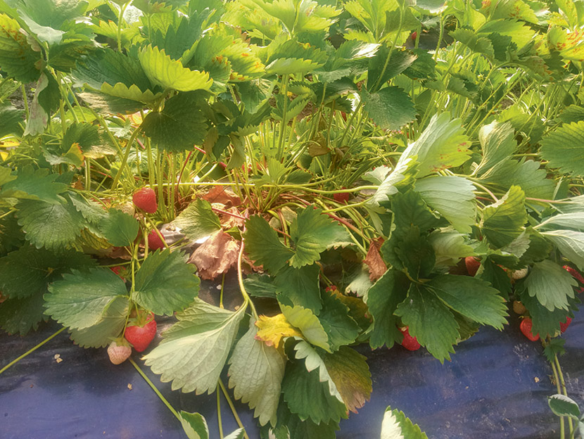 Poleganje grmov jagod ob porastu temperatur.<br><br>