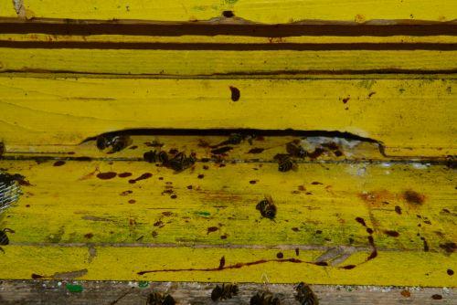 Z blatom čebel popackana brada panja. Čeprav je bila letošnja zima razmeroma mila, čebele zaradi vlažne in senčne lege mojega čebelnjaka v Ljubljani niso dobro prezimile.