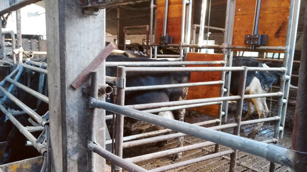 Krava v krmilnem avtomatu z zaprtimi izhodnimi vrati med čakanjem na krmo in konzumacijo odmerjenega krmnega obroka.