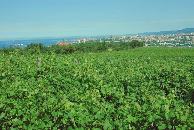 Vinogradi  Kocjančič s pogledom na MIlje in Tržaški zaliv
