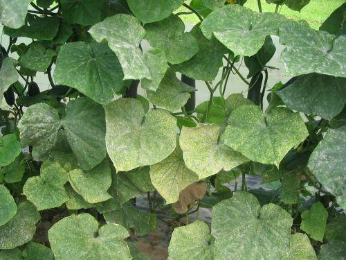 Pršice opazimo najprej na posameznih rastlinah, od koder prehajajo na sosednje.