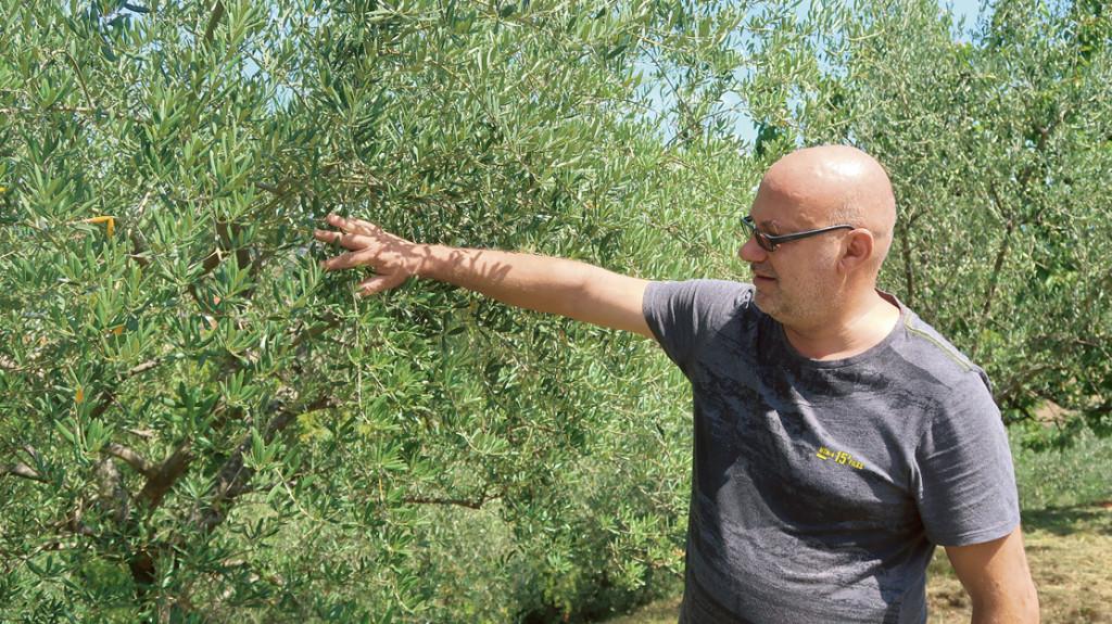 Pridelka oljk bo letos izjemno malo, ker so se plodovi posušili in odpadli