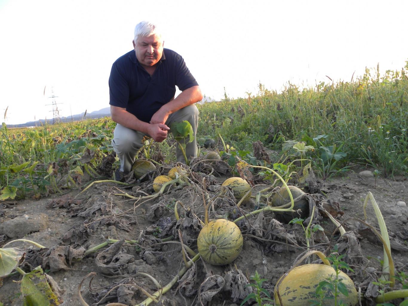 Milan Unuk: Pridelava buč na Dravskem polju je zahtevna.